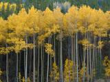 Autumn Aspens Along Cottonwood Pass  Rocky Mountains  Colorado USA