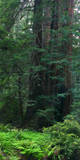 Old Growth Coast Redwood  Muir Woods National Monument  San Francisco Bay Area