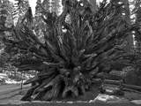 Roots of Giant Sequoia  Mariposa Grove  Yosemite