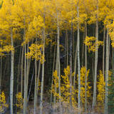 Autumn Aspens Along Cottonwood Pass  Rocky Mountains  Colorado USA