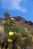 Blooming Cactus in Arizona Desert Mountains