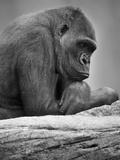 Gorille Papier Photo