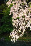 Sakura in Korakuen Garden in Okayama