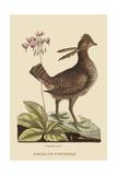 Amercan Partridge