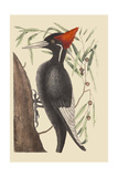 Large White Billed Woodpecker