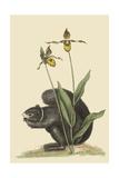 Black Squirrel Reproduction d'art par Mark Catesby