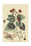 Caryophyllus - Dianthus and Moth