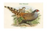 Catreus Wallachi - Cheer Pheasant