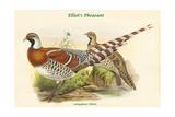 Calopphasis Ellioti - Elliot's Pheasant