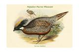 Pucrasia Nipalensis - Nepalese Pucras Pheasant