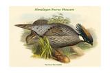 Pucrasia Macrolopha Himalayan Pucras Pheasant