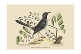 Red Legged Thrush