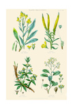 Plants Used in Dyeing Woad  Weld  Madder  Sumach