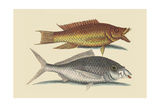 Hog Fish and Shad