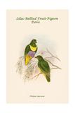 Ptilopus Speciosus - Lilac-Bellied Fruit-Pigeon - Dove