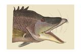 Great Hog Fish