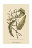 Vanila Plant