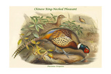 Phasianus Torquatus - Chinese Ring-Necked Pheasant