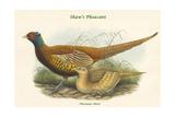 Phasianus Shawi - Shaw's Pheasant