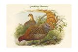 Phasianus Scintillans - Sparkling Pheasant