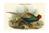 Phasianus Versicolor Japanese Pheasant