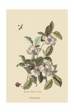 Stuartia - Camellia