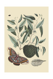 Sugar Apple and Carolina Moth