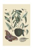 Sugar Apple and Carolina Moth