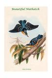 Sitta Formosa - Beautiful Nuthatch
