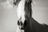 Arabian Horse Head  Sepia