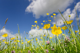 Meadow of Grass and Blooming Summer Buttercups under Blue Sky