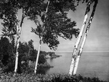 Birch Trees on Lake Superior Shore