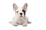 Fawn Pied French Bulldog Puppy