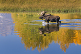 Bull Moose in Grand Teton NP in Autumn