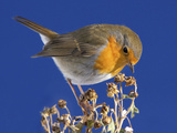 Robin in Front of a Blue Sky