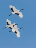Japanese Cranes  Hokkaido  Japan