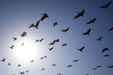Demoiselle Cranes (Anthropoides Virgo) Group of Birds Flying  in Khichan  Rajasthan  India