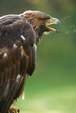 Golden Eagle with Freezing Breath