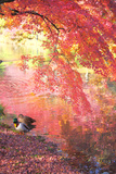 Japanese Maple Mallard Ducks in Autumn  Kyoto Prefecture  Honshu  Japan