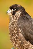 Juvenile Lanner Falcon (Falco Biarmicus) Portrait