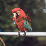A Scarlet Macaw Perched on a Railing