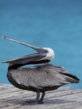Brown Pelican Dock  Caribbean