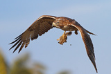 Red-Tailed Hawk with Baby Squirrel