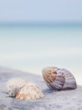 Usa  Florida  St Petersburg  Focus on Seashell on Beach
