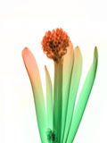 Hyacinth_6