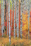 A Forest of Aspen and Maple Trees in the Wasatch Mountains  with Striking Yellow and Red Autumn Fol