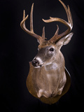 Whitetail Deer  Odocoileus Virginianus  Shoulder Mount with Black Background
