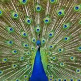 Peacock Displaying its Colorful Feathers