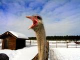 Arctic Ostrich