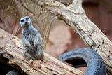 Meerkat - Suricate
